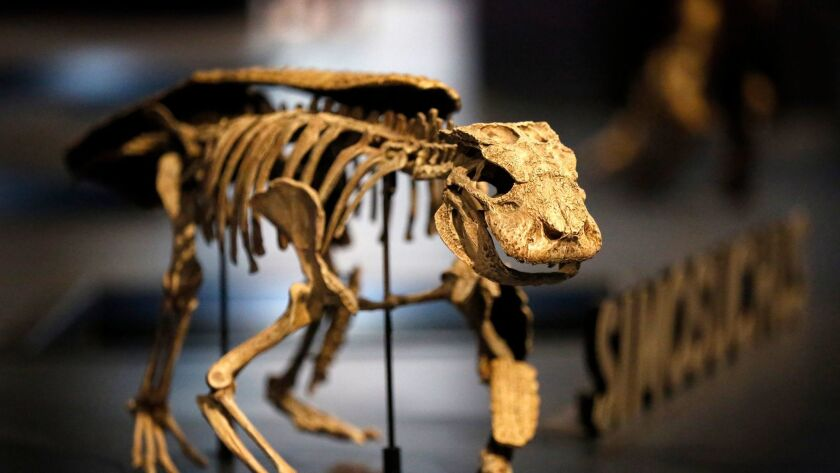 """Simosuchus is one of the smallest skeletons on display at the new """"Ultimate Dinosaurs"""" exhibit at the San Diego Natural History Museum."""