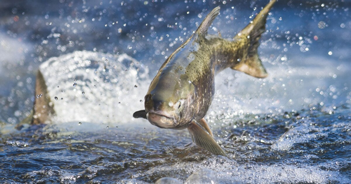 A report shows Trump?s water plan would hurt California salmon. The government hid it