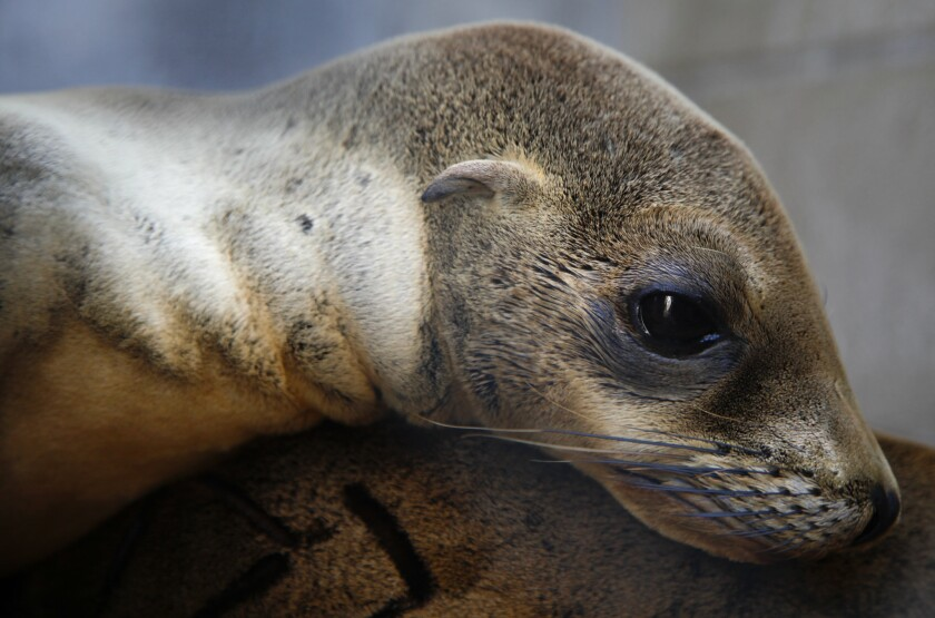 An emaciated and sick sea lion pup at the Marine Mammal Care Center in San Pedro in 2013. New research blames a lack of nutritious fish off California's central coast for the rise in starving pups in Southern California.