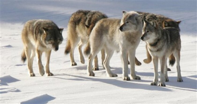 FILE - In this Feb. 10, 2006 file photo released by Michigan Technological University, a pack of gray wolves is shown on Isle Royale National Park in northern Michigan. Wolves in parts of the Northern Rockies and the Great Lakes region are coming off the endangered species list, but several prior attempts to remove protections for the predators have been rejected by judges and new legal challenges are certain. (AP Photo/Michigan Technological University, John Vucetich)