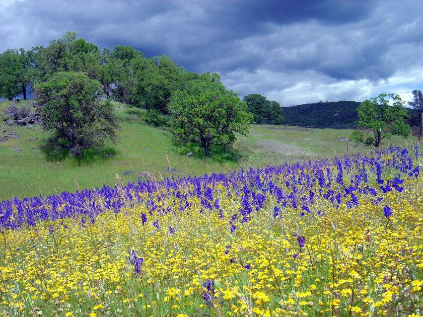 Drier winters are having an effect on California wildflowers. For 15 years, researchers at UC Davis have studied 80 sites at McLaughlin Reserve, part of UC Davis' Natural Reserve System. They determined that drier, sunnier winters are causing a loss of species diversity in native wildflowers.