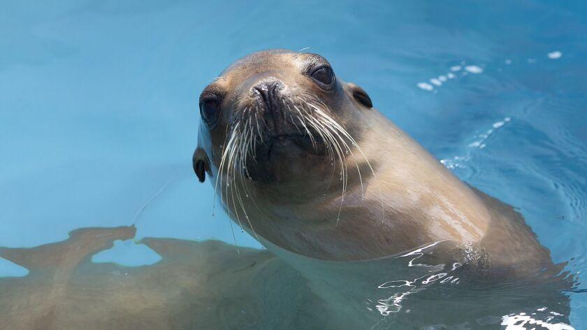 Sea Lion Indira, leisurely swims in a pool as she gets her strength back at the Pacific Marine Mamma