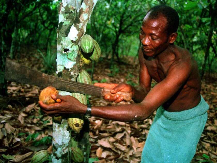 Gambi Gbanble harvests a pod of cocoa beans from his plantation near the village of Baba, in the southern rainforests of Ivory Coast, May 30, 1998.