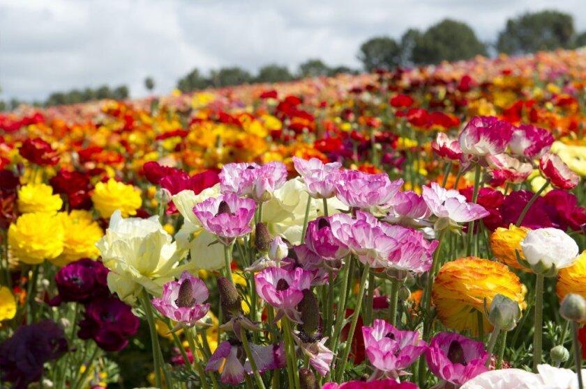 Flower Fields recruiting spring volunteers - The San Diego