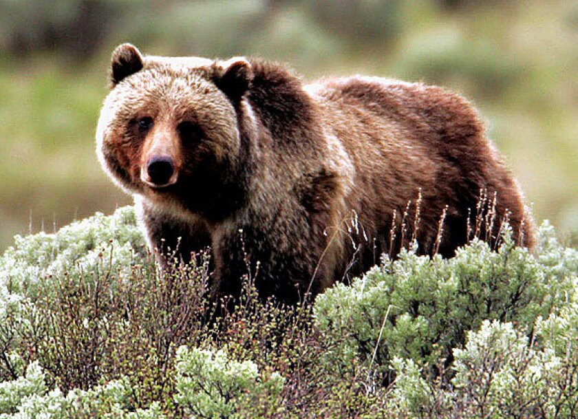 """A judge restored protections for Yellowstone grizzly bears under the Endangered Species Act in 2018 after the Trump administration tried to have them """"delisted."""""""
