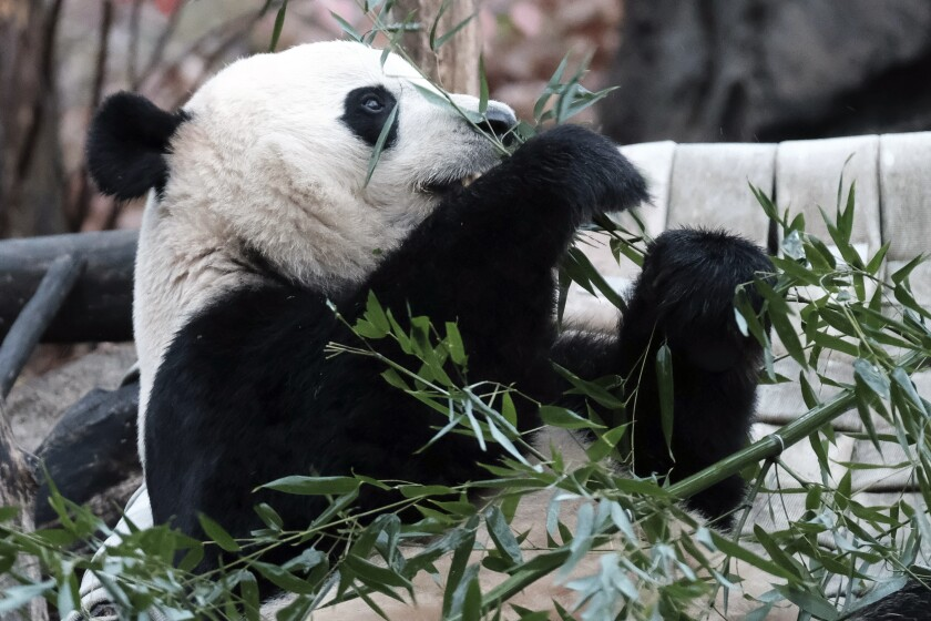 Giant panda Bei Bei eats bamboo at the Smithsonian National Zoological Park in Washington.