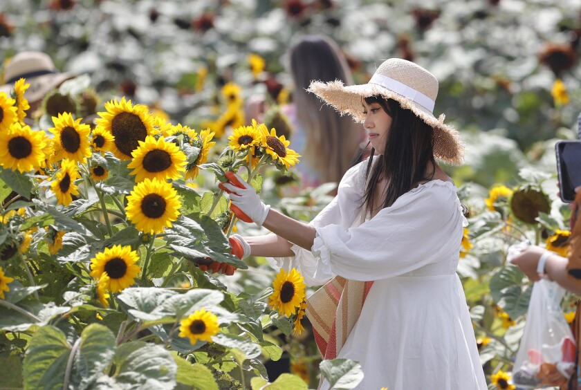 """Sunflowers in the """"gold rush"""" variety are picked by a guest on the Sakioka family fields in Costa Mesa."""