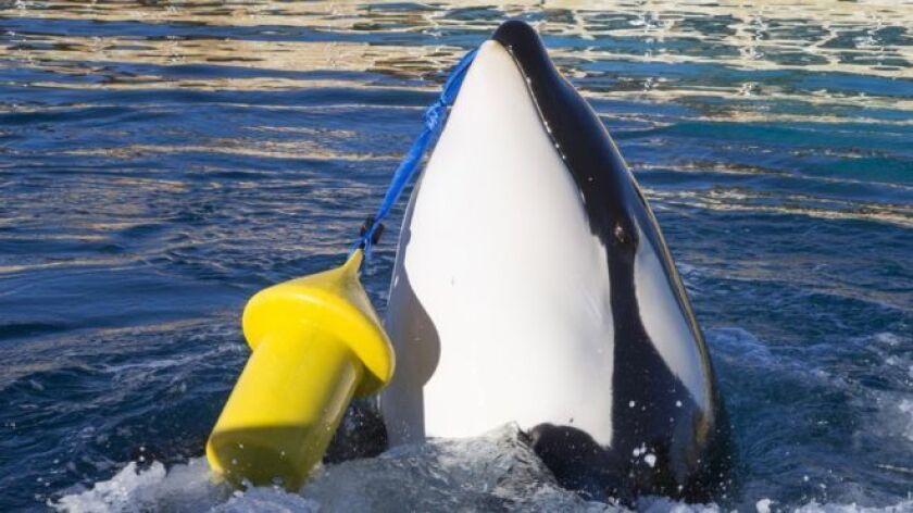 """Wikie es una ballena orca hembra de 16 años que aprendió a """"hablar"""": es capaz de decir unas cuantas palabras humanas copiando a su entrenador en un parque marino en Francia."""