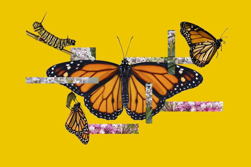 Hay muchas formas sencillas de ayudar a la frágil colonia de mariposas monarca.