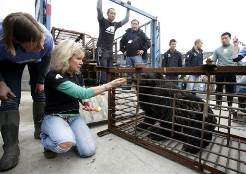 Jill Robinson, founder and chief executive of Animals Asia, feeds a rescued black bear at the Moon Bear Rescue Center, in Chengdu, in China southwest Sichuan province, Friday, Feb. 6, 2009. A dozen Asiatic black bears, malnourished and diseased from years spent on abusive bile-harvesting farms in southwest China, were recovering Saturday after being handed over to an animal charity group. (AP Photo/Ken Teh)
