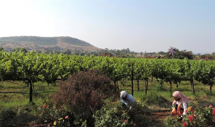 El sabor de los vinos indios lo marcan un equilibrio entre lo dulce y lo ácido, algo que se debe sobre todo a las condiciones climatológicas en el oeste de la India, donde se producen la mayor parte de los caldos. EFE