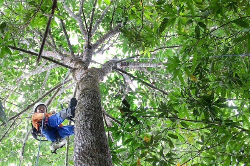 Edimilson Da Silva Almeida uses ropes and climbing gear to ascend a Brazil nut tree in Boa Frente, where the nonprofit Amazonas Sustainable Foundation manages Brazil's Juma Reserve. The foundation is helping to train residents to safely harvest and grade the Brazil nuts for sale and export.