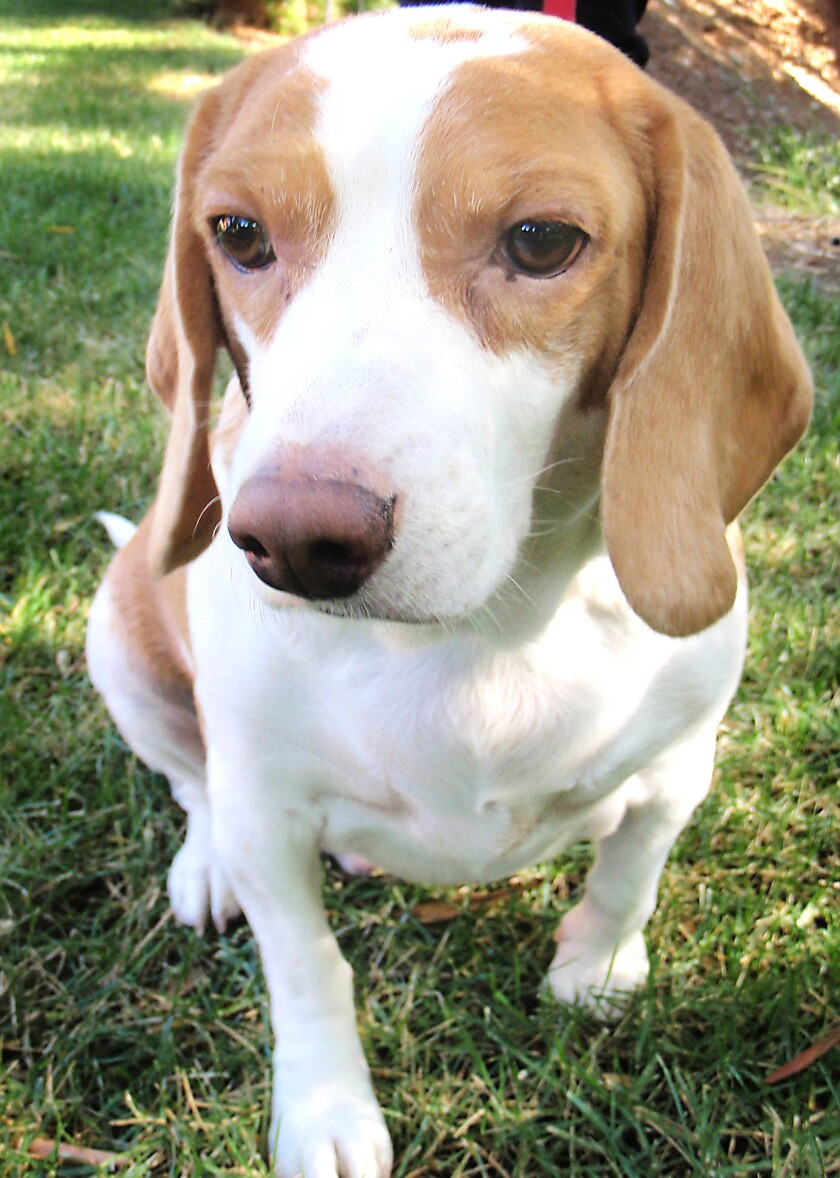 The beloved 300-pound beagle in his early days, before bad choices and time took their toll.