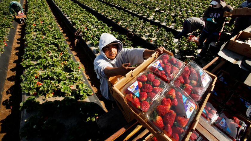 Domingo Suarez carries a box of Dole strawberries in Santa Maria.