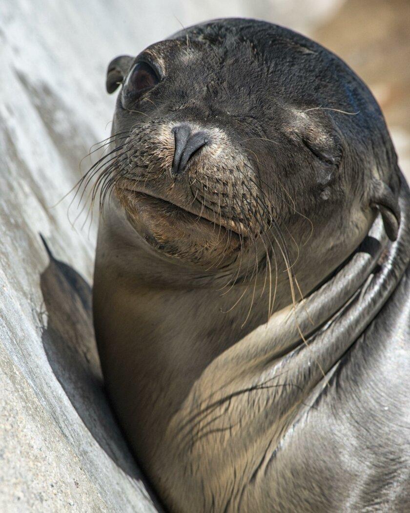 Marina, the sea lion pup