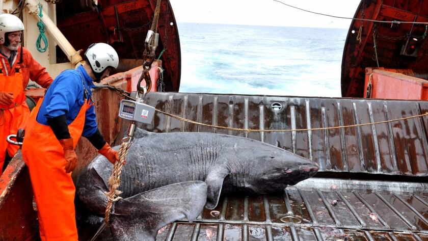 A Greenland shark caught as bycatch is examined on the research vessel Pâmiut in southwest Greenland.