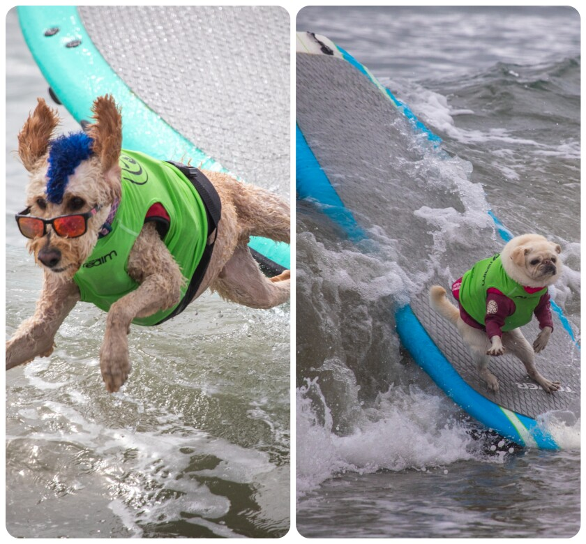 Dogs on surfboards.