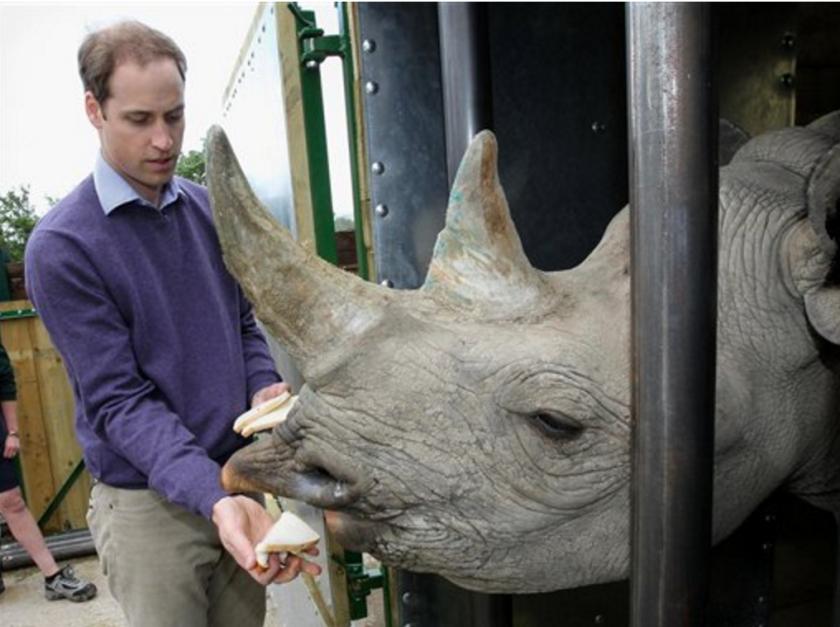 Fotografía de archivo del 6 de junio de 2012 del príncipe Guillermo alimentando a un rinoceronte negro llamado Zawadi durante una visita a un parque en Port Lympne, Inglaterra. (Chris Jackson/Pool, Archivo)