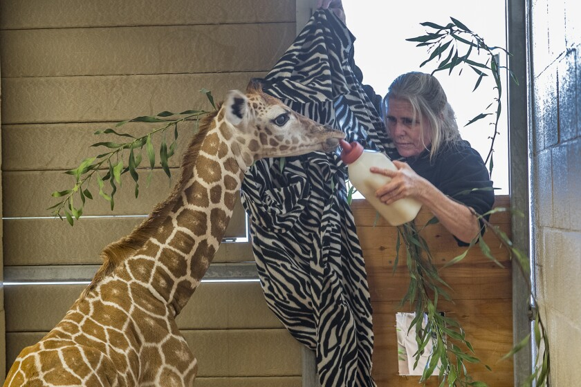 "An animal keeper feeds a young giraffe in ""The Zoo: San Diego."""