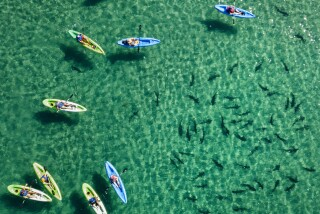 K.C. AlfredU-T Kayakers float above a group of leopard sharks in the clear, shallow water of La Jolla Shores on Sunday. Named for their striking appearance, the sharks have dark, saddle-shaped splotches along the fins and upper body. Four to 5 feet in length, they aren't a threat to humans.