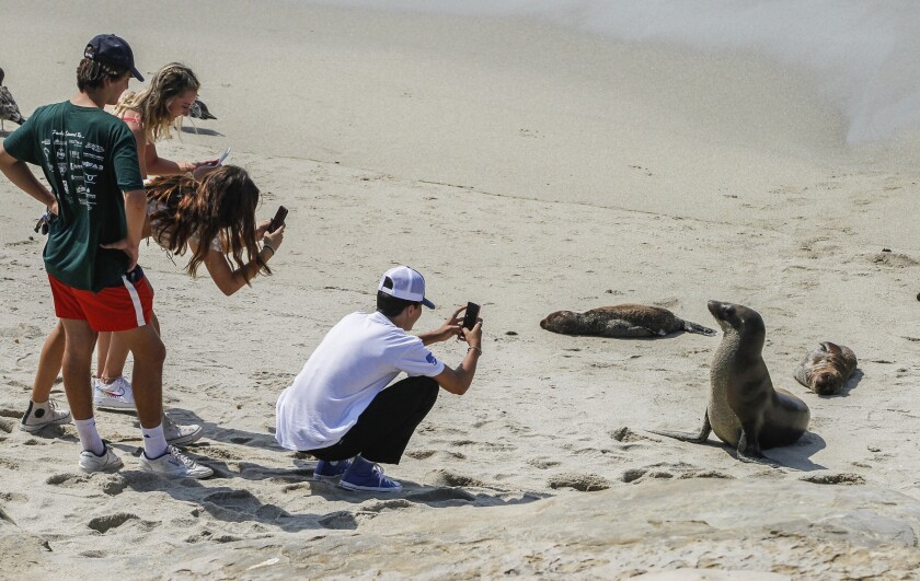 Beach goers move in close to view and photograph sea lions and their pups at a rookery at Boomer Beach
