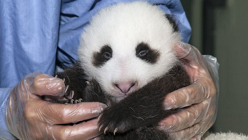 Xiao Liwu remains calm during a veterinary exam at the San Diego Zoo.