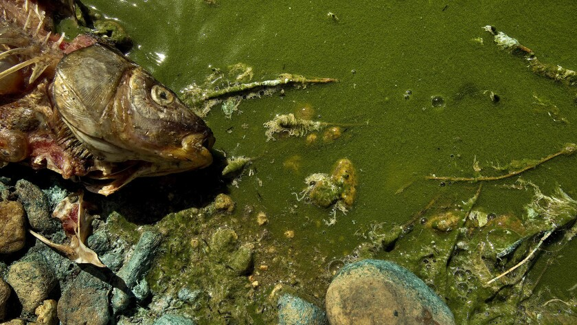 A dead fish lies next to algae-covered water.