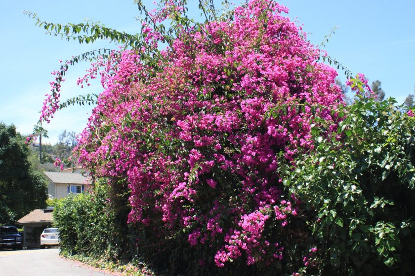 Bougainvillea can grow up to 40 feet tall. The signature pink/purple 'flowers' are actually spring leaves surrounding its tiny white flowers. Find this bougainvillea on the 2500 block of Ardath Road. Ashley Mackin