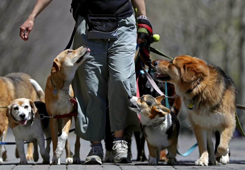 A person takes some dogs out for a walk.