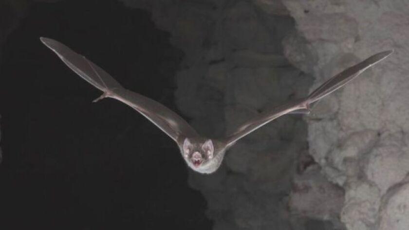El animal puede beber hasta la mitad de su peso de sangre, a diferencia de otros murciélagos que se alimentan a base de frutas, néctar o insectos.