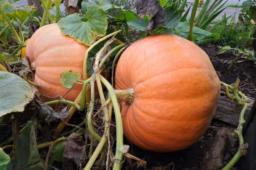 Large ripe pumpkins in a field still attached to the vine.