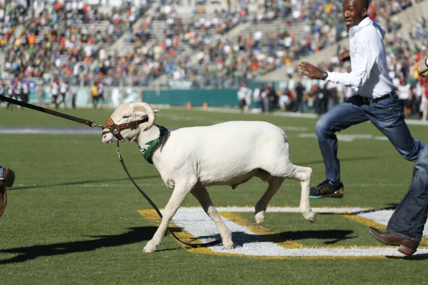 FILE- In this Oct. 31, 2015 file photo, Colorado State Rams mascot Cam the Ram runs in the first half of an NCAA college football game in Fort Collins, Colo.  This Cam, No. 25, has been on the job for eight months. He's a manageable 230-240 pounds and 36-37 inches tall at the shoulder. (AP Photo/Da