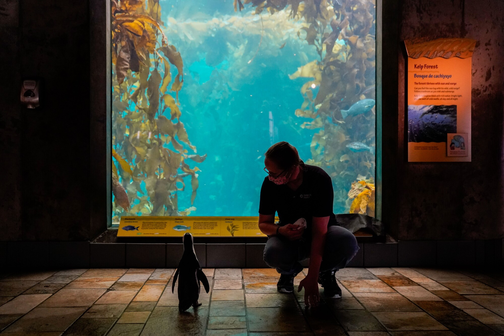 An aquarium worker kneels down next to a small penguin peeking into a tank filled with kelp and fish