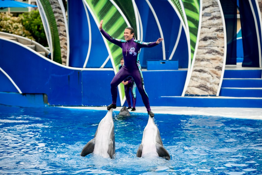 Trainers swim with the dolphins during the Dolphin Days show at Seaworld on June 5, 2019 in San Diego.