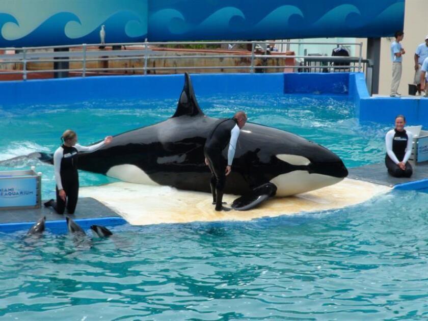 El cuidador Eric Eimstad (c) habla a la popular orca Lolita durante un espectáculo en el Miami Seaquarium, el mayor acuario marino de Estados Unidos. EFE/Archivo