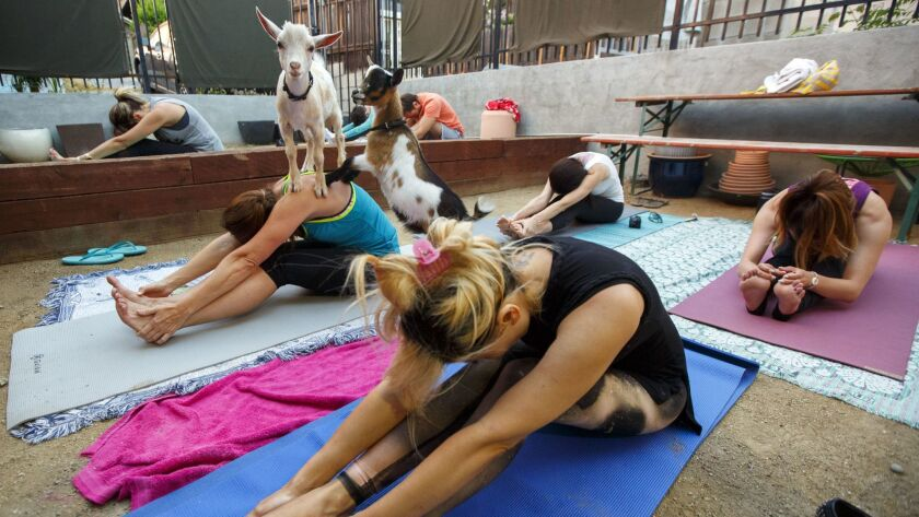 A baby goat stands on the back of Eva Prezenkowski during a goat yoga session from Hello Critter in the back garden of Acorn in the Eagle Rock neighborhood of Los Angeles.