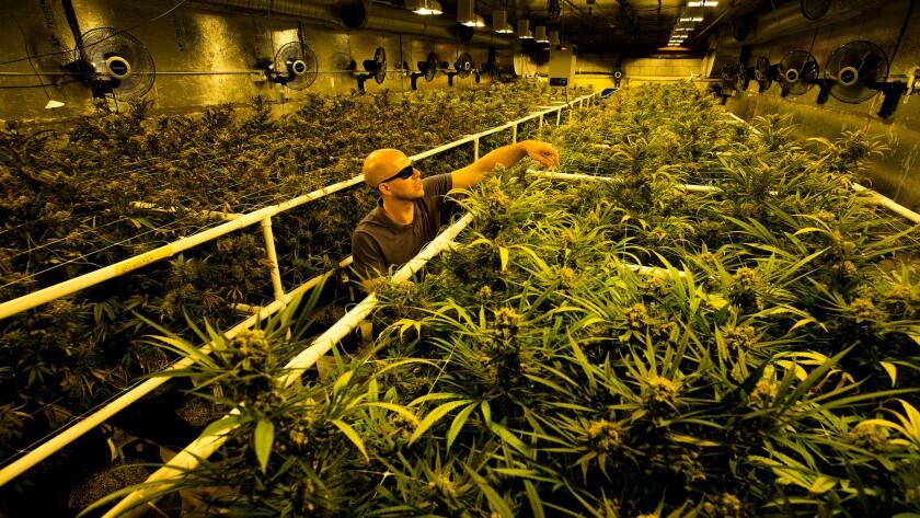 Marijuana plants in a growing room at a medical marijuana operation.