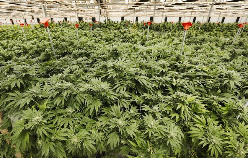 "A grand jury said Santa Barbara County ""opened the floodgates"" to marijuana growers."
