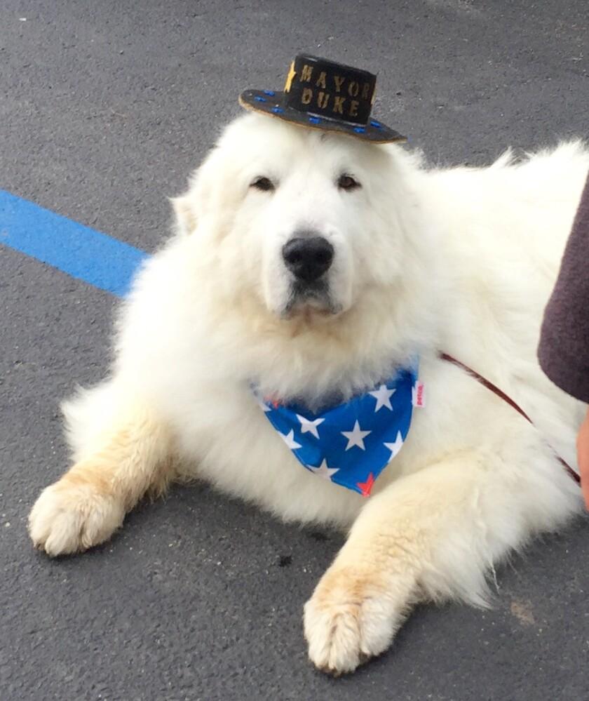En esta imagen del sábado 20 de agosto de 2016, proporcionada por Karen Nelson, se ve a Duke, un perro montaña de los Prineros que ganó un tercer mandato de un año como alcalde honorario de Cormorant Township, Minnesota. (Deb Rick via AP)