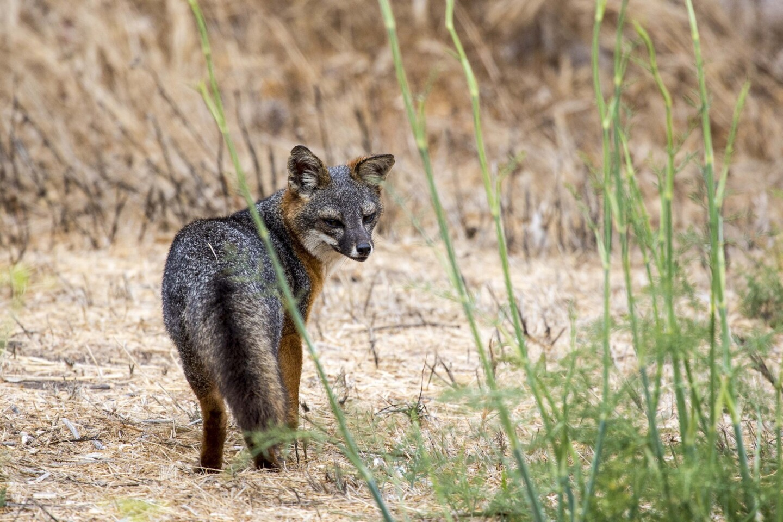 The Santa Cruz Island fox, one of the subspecies of fox native to California's Channel Islands, on Santa Cruz Island.