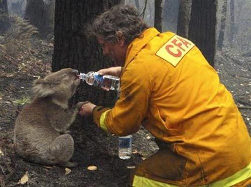 Local CFA firefighter David Tree shares his water with an injured Australian Koala at Mirboo North after wildfires swept through the region on Monday, Feb. 9, 2009.