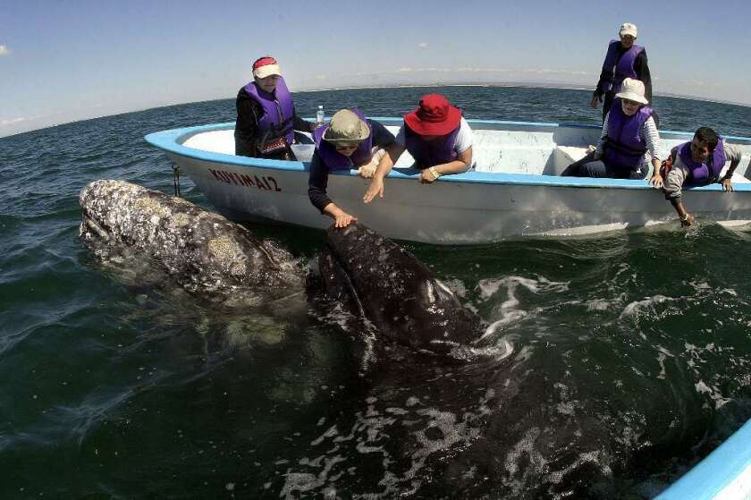 Ecotourists meet a California gray whale off the coast of Baja California. In a new study, scientists warn that ecotourists may wind up threatening the very animals they seek to protect.