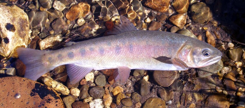 This undated photo provided by the California Department of Fish and Wildlife shows a Paiute cutthroat trout. For the first time in nearly a century, the California trout species will swim in a mountain creek that is its native habitat, marking a major milestone that conservationists hope will lead to a thriving population and removal of its threatened status. About 30 Paiute cutthroat trout will be plucked Wednesday, Sept. 18, 2019 from Coyote Valley Creek and hauled in cans strapped to pack mules about two miles (3.2 kilometers) to be dumped back into a stretch Silver King Creek in Alpine County's Long Valley, where the shimmering species glided through the cold water for thousands of years. (California Department of Fish and Wildlife via AP)