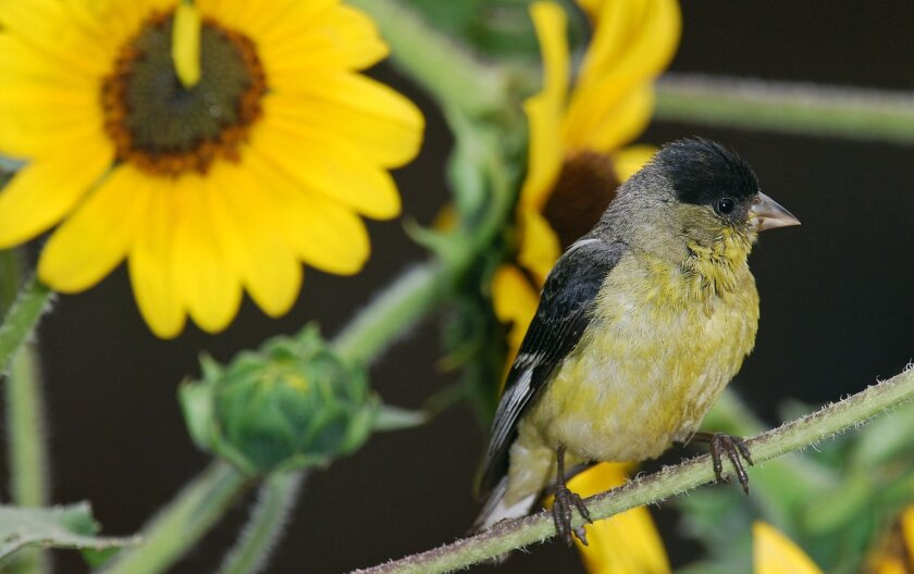 A lesser goldfinch perches on a sunflower.