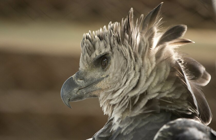 In this Friday, Oct. 3, 2014 photo, a Harpy eagle looks out from its cage at the Chico Mendes Ecological Park, in Rio Branco, northern state of Acre, Brazil. (AP Photo/Andre Penner)