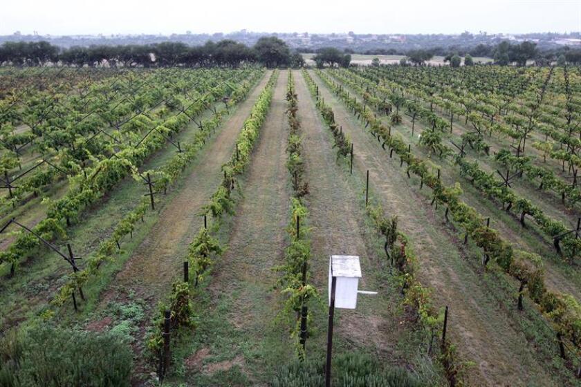 Vista general de los viñedos Cuna de Tierra, en el municipio de Dolores Hidalgo del estado de Guanajuato (México). EFE/Archivo