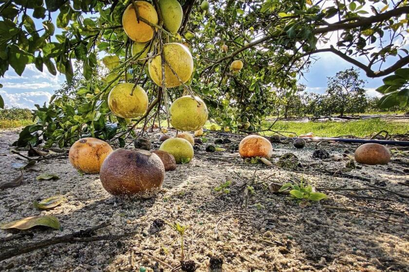 Fallen citrus fruit infected by the huanglongbing bacterium are seen on the ground of a university research grove.