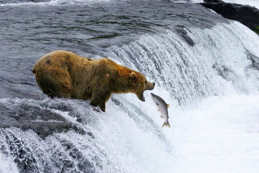 """This undated image provided by MacGillivray Freeman Films shows a brown bear catching salmon in Katmai National Park and Preserve in Alaska, shot in slow motion with a telephoto lens. The image appears in the new """"National Parks Adventure"""" IMAX movie opening Friday. The movie is part of a yearlong"""