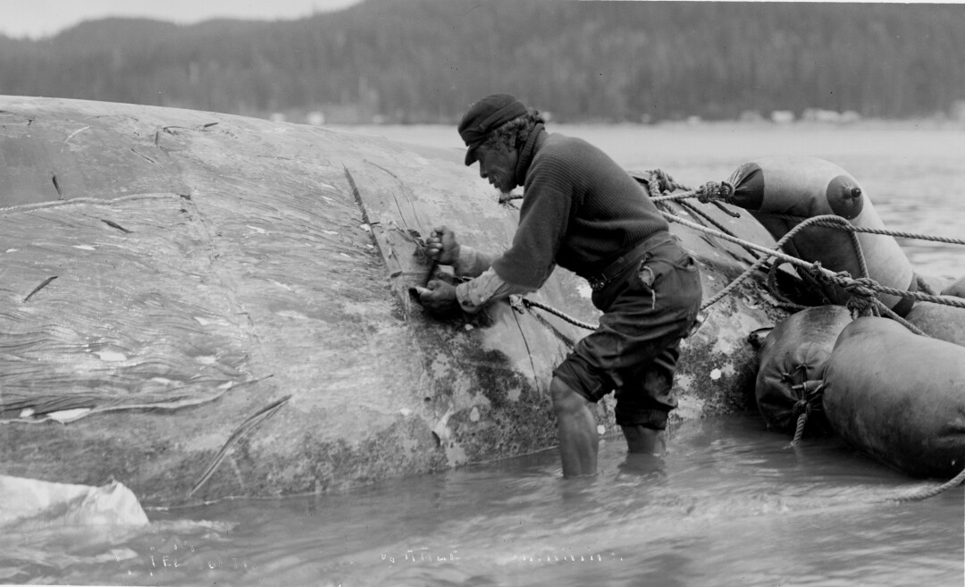 A Makah hunter working on a whale carcass.