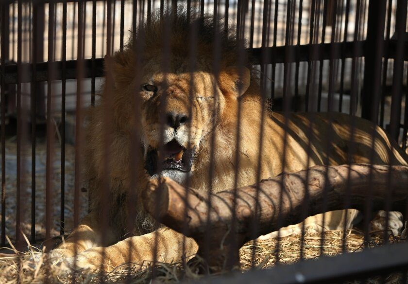 Lions rescued